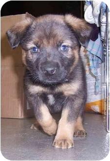 Must see German Shepherd Chubby Adorable Dog - 52575174  Trends_343818  .jpg