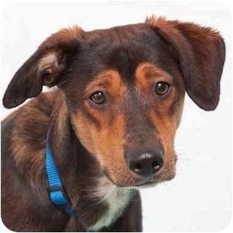 Hound (Unknown Type)/Shepherd (Unknown Type) Mix Dog for adoption in Westfield, New York - Jerome
