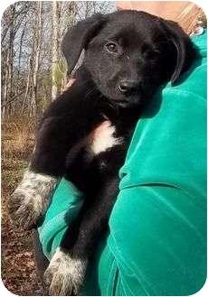 Staunton, VA - Labrador Retriever  Meet Destiny a Pet for