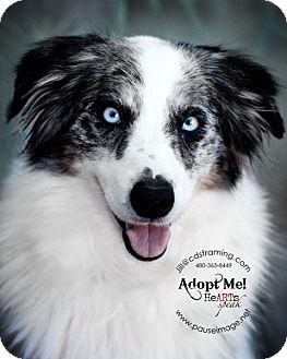 Phoenix Az Australian Shepherd Meet Bailey A Pet For Adoption