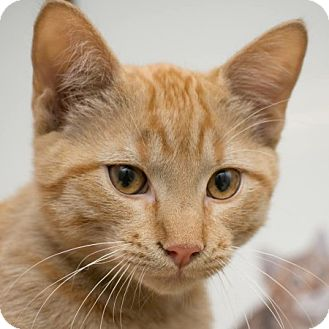 Domestic Shorthair Kitten for adoption in Edmonton, Alberta - Walla Walla