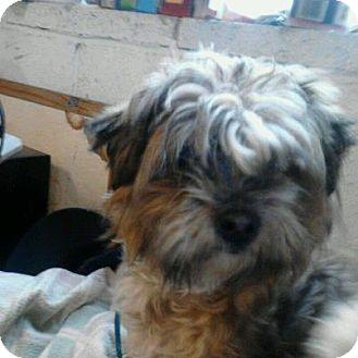 Yakima Wa Shih Tzu Meet Sweet Pea A Pet For Adoption