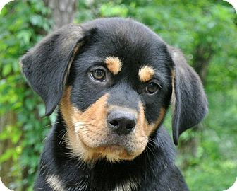 Groton Ma Rottweiler Meet Ronnie A Pet For Adoption