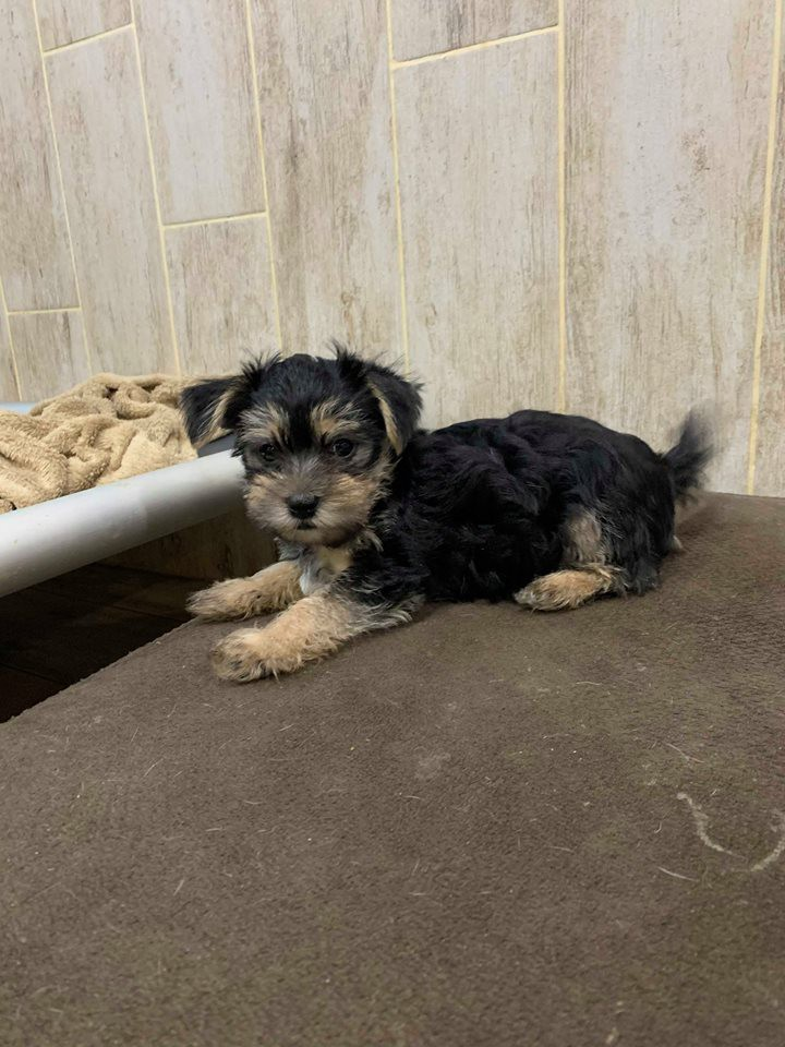 Pittsburgh, PA - Yorkie, Yorkshire Terrier  Meet Puppy 3 a