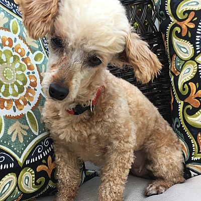 Honeoye Falls Ny Miniature Poodle Meet Remi A Pet For