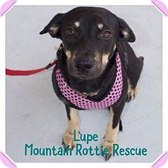 Rottweiler Mix Dog for adoption in Rexford, New York - Lupe