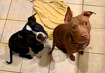 Adopt A Pet :: Beans & Tortilla  - Troy, MI