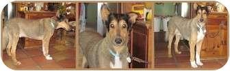 Collie Mix Dog for adoption in Trabuco Canyon, California - Sherlock