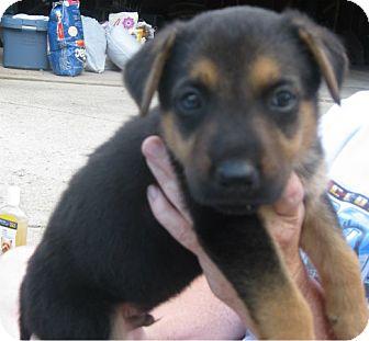Schaumburg Il German Shepherd Dog Meet Hunter A Pet For Adoption
