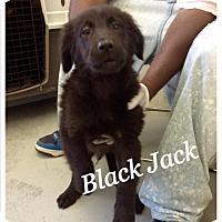 Adopt A Pet :: Black Jack - Tampa, FL