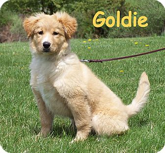 Milford Nj Australian Shepherd Meet Goldie A Pet For Adoption