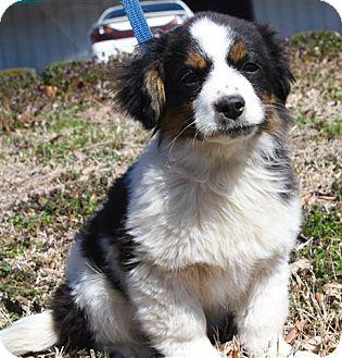 Westport, CT - Bernese Mountain Dog  Meet *Neptune - PENDING a Pet