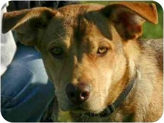 Labrador Retriever Mix Dog for adoption in Avon, New York - Bogart