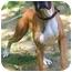 Photo 2 - Boxer Dog for adoption in Zanesville, Ohio - Artemus