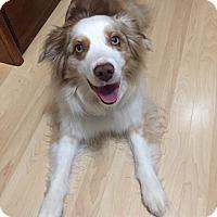 Adopt A Pet :: Ozzie - Minneapolis, MN