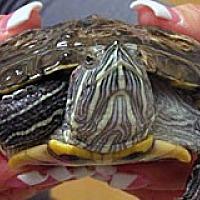 Adopt A Pet :: FRANKLIN - Wildomar, CA