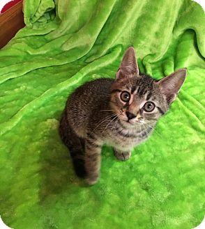 Domestic Shorthair Kitten for adoption in Columbus, Ohio - Charlie Brown