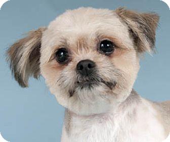 Chicago Il Shih Tzu Meet Mimi A Pet For Adoption