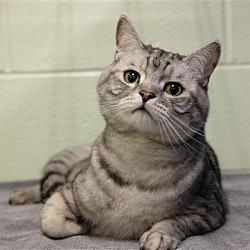 British Shorthair Kittens for Sale in Cincinnati Ohio