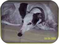 Greyhound Dog for adoption in St Petersburg, Florida - Butler