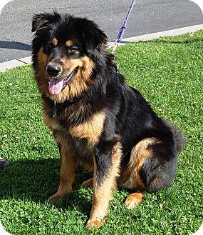 West Los Angeles Ca Golden Retriever Meet Lobo A Pet For Adoption