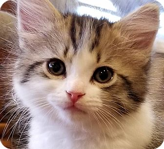 Domestic Longhair Kitten for adoption in Irvine, California - Tazia