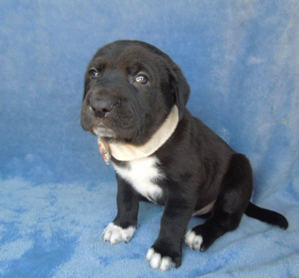 Charlotte, NC - Golden Retriever. Meet Ramone a Dog for Adoption.
