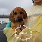 Adopt A Pet :: Braden