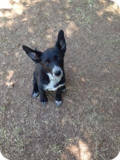 Snyder Tx German Shepherd Dog Meet Ceecee A Pet For Adoption