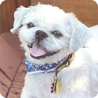Athens Ga Shih Tzu Meet Dizzy A Pet For Adoption