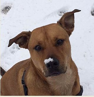 Boxer/German Shepherd Dog Mix Dog for adoption in Sterling, Virginia - Rusty