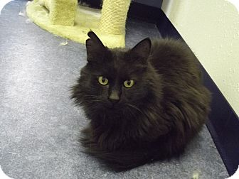 Domestic Longhair Cat for adoption in Colorado Springs, Colorado - Mr Beasley