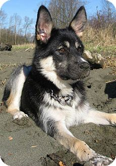 North Vancouver, BC - Alaskan Malamute  Meet ATKA~ADOPTED! a Pet for