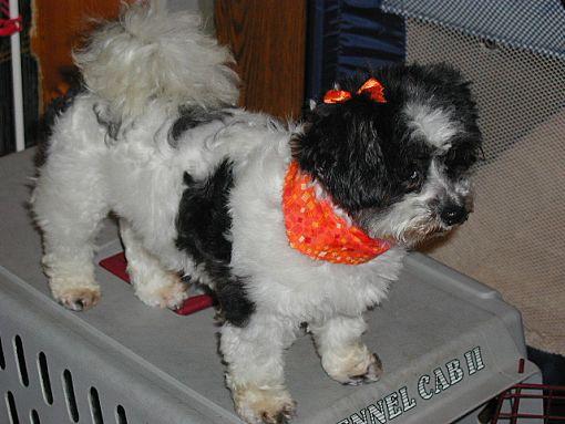 Homer Glen Il Shih Tzu Meet Cricket A Dog For Adoption
