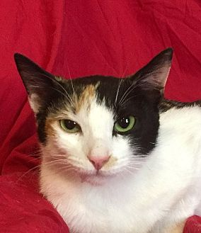 Calico Cat for adoption in Santa Monica, California - MILEY