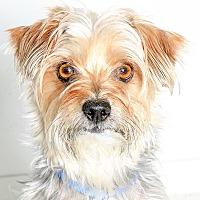 Yorkie Yorkshire Terrier Puppies For Sale Adoptapetcom