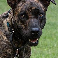 Adopt A Pet :: Eve  *DOG FRIENDLY* - Clarkston, MI