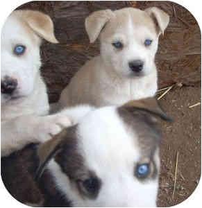 Santa Fe, NM - Siberian Husky  Meet Husky Mix Puppies a Pet