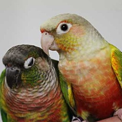 Vancouver, WA - Conure  Meet Lola & Pavo-Green Cheek Conure a Pet
