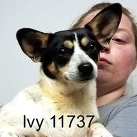 Adopt A Pet :: Ivy - Manassas, VA