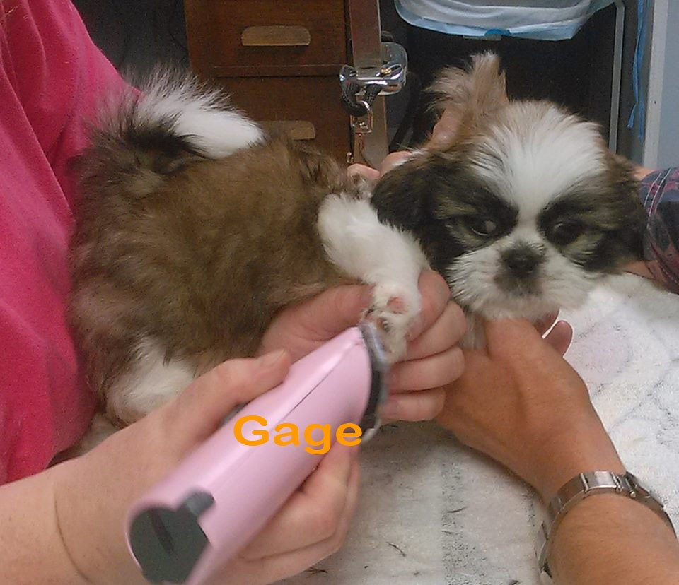 Rochester Ny Shih Tzu Meet Gage A Pet For Adoption