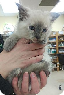 Domestic Shorthair Kitten for adoption in Edmonton, Alberta - Tasha