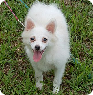 Pictures Of American Eskimo Dog Puppies