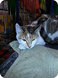 Calico Cat for adoption in Ortonville, Michigan - Patches