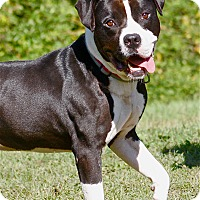 Adopt A Pet :: Domino - Hudson, NH