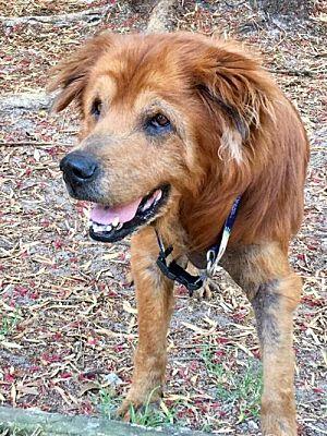 Tampa, FL - Golden Retriever  Meet Kellin a Pet for Adoption