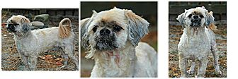 Shih Tzu Dog for adoption in Forked River, New Jersey - Scooby
