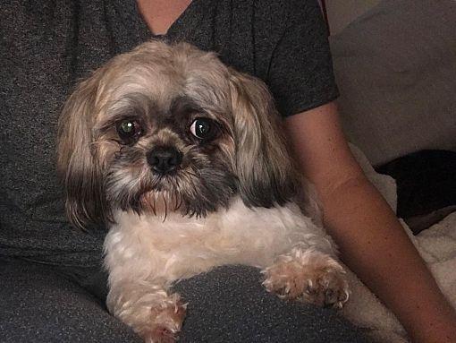 Syracuse Ny Shih Tzu Meet Teddy A Pet For Adoption