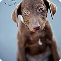 Adopt A Pet :: Brownie - La Crosse, WI