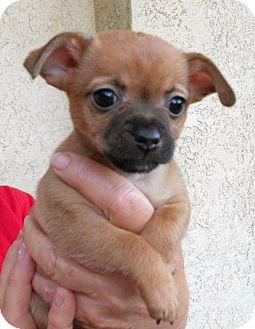 El Segundo Ca Chihuahua Meet Coral Lily A Pet For Adoption